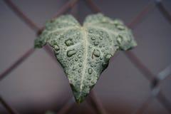 Gotas de lluvia en una hoja Imagenes de archivo