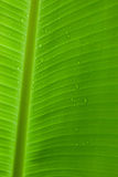 Gotas de lluvia en una hoja del plátano Foto de archivo