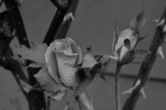 Gotas de lluvia en una rosa en blanco y negro fotos de archivo libres de regalías