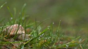 Gotas de lluvia de la hierba verde del caracol metrajes