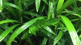 Gotas de lluvia de la ondulación en las hojas pandan verdes metrajes
