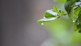 Gotas de lluvia que bajan de la hoja mojada