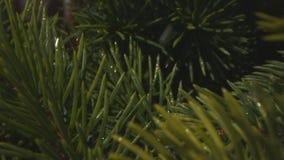 Gotas de lluvia que bajan en árbol de pino en Forest Macro Shot con Laowa y Phantom Camera almacen de metraje de vídeo