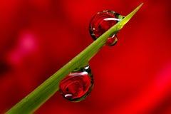Gotas de orvalho de Rosa Fotografia de Stock