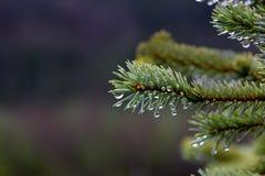 Gotas de orvalho em agulhas spruce Foto de Stock Royalty Free