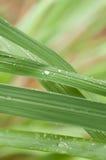 Gotas de orvalho em Lemongreass Imagens de Stock