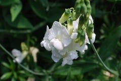Gotas de orvalho em Pea Flowering Vine doce branco imagens de stock royalty free