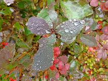 Gotas de orvalho em uma folha Fotografia de Stock Royalty Free