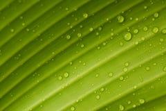 Gotas de orvalho em uma folha da banana foto de stock