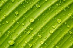 Gotas de orvalho em uma folha da banana imagem de stock