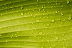 Gotas de orvalho em uma folha da banana fotografia de stock