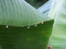 Gotas de orvalho na folha da banana Imagem de Stock