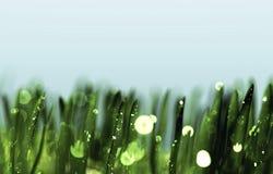 Gotas de orvalho na grama verde Imagens de Stock Royalty Free