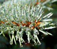 Gotas de orvalho nas agulhas do abeto vermelho do pinho Imagens de Stock
