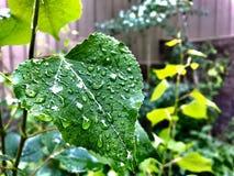 Gotas de orvalho nas folhas do álamo tremedor Foto de Stock