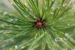 Gotas de rocío en agujas del pino Imágenes de archivo libres de regalías