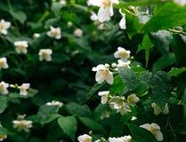 Gotas de rocío en el florecimiento Planta blanca y verde Imagenes de archivo