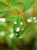 Gotas de rocío en las hojas   Fotografía de archivo