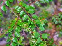 Gotas de rocío en las hojas Fotos de archivo libres de regalías