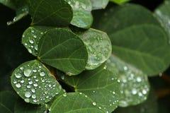 Gotas de rocío en las hojas fotografía de archivo libre de regalías