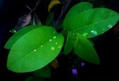 Gotas de rocío en las hojas verdes Fotografía de archivo