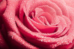 Gotas de rocío en los pétalos color de rosa Imágenes de archivo libres de regalías