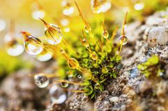 Gotas de rocío en musgo Imagen de archivo libre de regalías