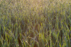 Gotas de rocío en un campo de trigo Imagen de archivo