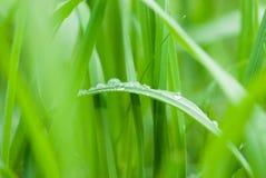 Gotas de rocío en una hierba verde Imagen de archivo libre de regalías