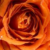 Gotas de rocío o gotas de agua en una rosa imágenes de archivo libres de regalías