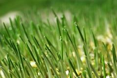 Gotas del agua de la hierba fotografía de archivo libre de regalías