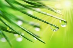 Gotas del agua en agujas del pino Imagenes de archivo