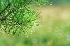 Gotas del agua en agujas del pino Imagen de archivo