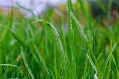 Gotas del agua en hierba verde fresca fotografía de archivo