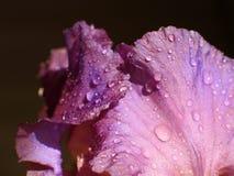 Gotas del agua en la flor Fotografía de archivo