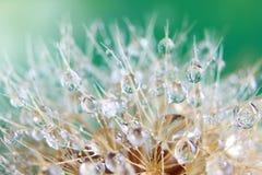 Gotas del agua en la flor del diente de león Imagenes de archivo