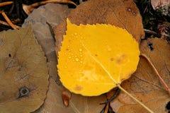 Gotas del agua en la hoja amarilla del álamo temblón Fotografía de archivo