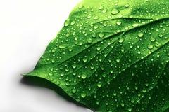 Gotas del agua en la hoja de la planta verde Fotos de archivo libres de regalías
