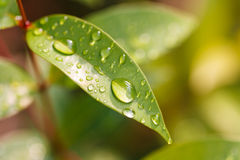 Gotas del agua en las hojas Imagen de archivo libre de regalías