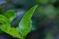 Gotas del agua en las hojas verdes Foto de archivo