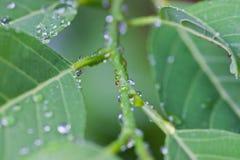 Gotas del agua en las hojas verdes Fotos de archivo libres de regalías