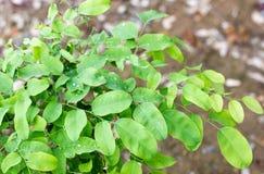Gotas del agua en las hojas verdes Imagen de archivo libre de regalías