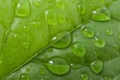 Gotas del agua en una hoja Fotografía de archivo libre de regalías