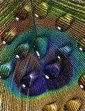 Gotas del agua en una pluma del pavo real Imágenes de archivo libres de regalías