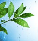 Gotas del agua y hojas verdes frescas Imágenes de archivo libres de regalías