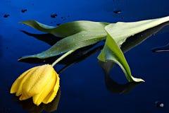 Gotas del tulipán y del agua Foto de archivo