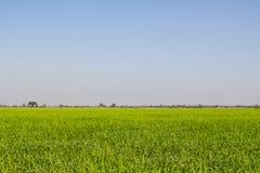 Gotas do orvalho em uma planta de arroz verde na manhã Imagens de Stock
