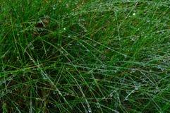 Gotas do orvalho na grama em uma floresta da manhã do verão Imagem de Stock