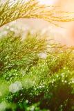 Gotas do orvalho no zimbro Ramos verdes do zimbro no sol do verão imagens de stock royalty free