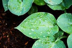 Gotas em uma folha Foto de Stock